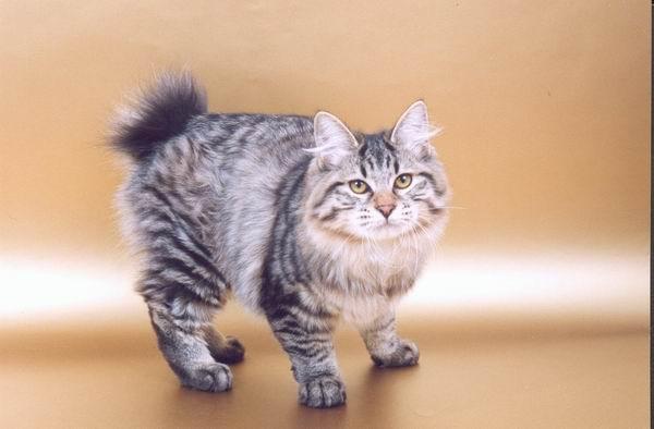 бобтейл кошки фото - фотография 4.
